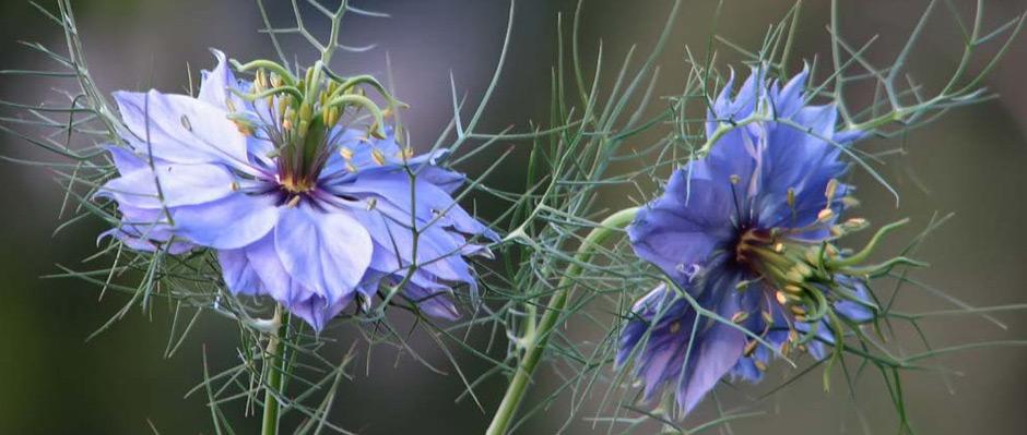 Flower black cumin