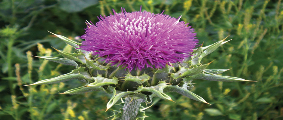 Cold pressed thistle oil